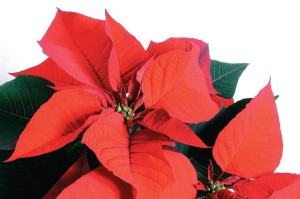 Poinsettia plants from Pall Mall, TN