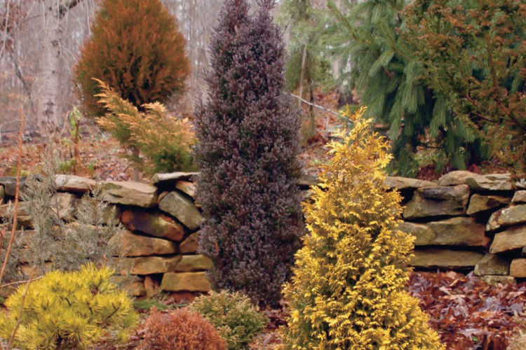 Colorful Conifer Trees and Shrubs