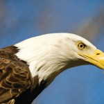 Reelfoot Lake B&B Gives Bird's-Eye View of Bald Eagles