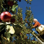 Mountain View Orchard: The Apples of Their Eyes