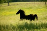 Walking Horse in a field near Shelbyville, Tennessee