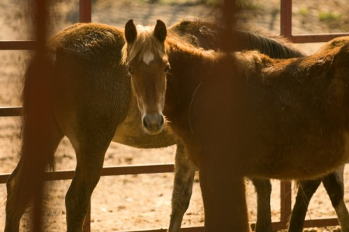 Adopt Wild Horses at Carr's Ranch in Tennessee