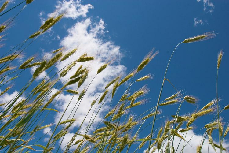 grain, field