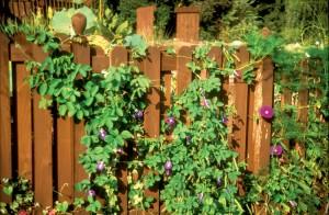 vines, flowers, garden
