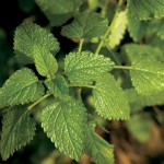 Growing and Cooking With Lemon Balm