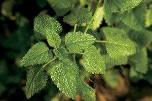 lemon balm