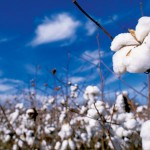 Farm Facts: Cotton