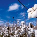 Farm Facts: Cotton