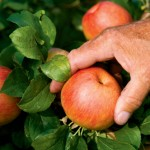 TN Farm Fresh: Apple Valley Orchards
