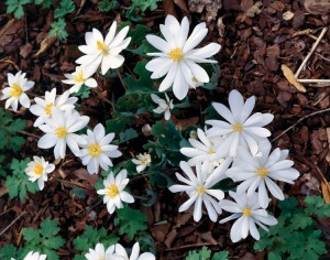 Bloodroot Flowers