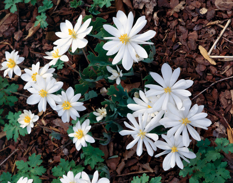 Bloodroot Flowers