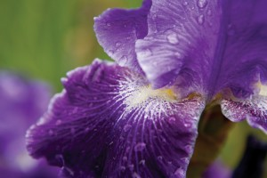 Iris Garden at Ellington Agricultural Center