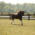 Clydesdales at Lodestar Farm in Buchanan, TN