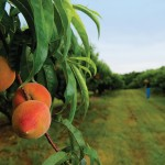 How to Prune Peach Trees