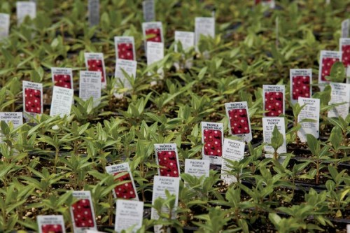 Thousands of plant labels are lined up in greenhouses at Mary's Greenhouse, Inc,, in McMinnville, Tennessee.