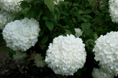Chinese snowball shrub