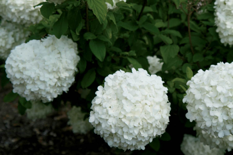 evergreen asian singles Top 10 evergreen shrubs  their flowers can be single or double and come in a range of colours from pink to red, through to yellow or white.