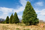 How to Replant Your Christmas Tree