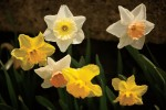 March Events in Tennessee include Daffodil Days in Bell Buckle