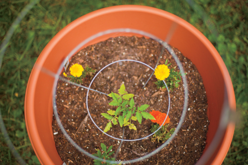 An container Garden with a tomato plant and marigolds