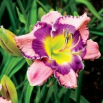 Daylilies in Delano