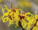 Arnold Promise Witchhazel