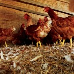 An Eggcellent Idea: Benefits of Backyard Chickens