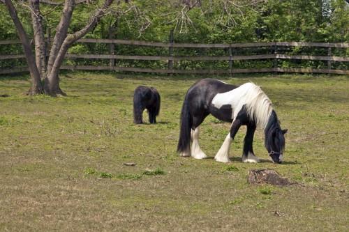 Gypsy Vanner horse at Nashville Zoo