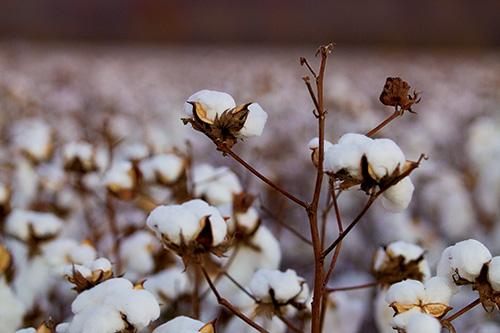 Lincoln County Cotton