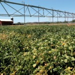 Celebrate Soy at the Tennessee Soybean Festival