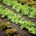 Three-Step Lettuce Garden