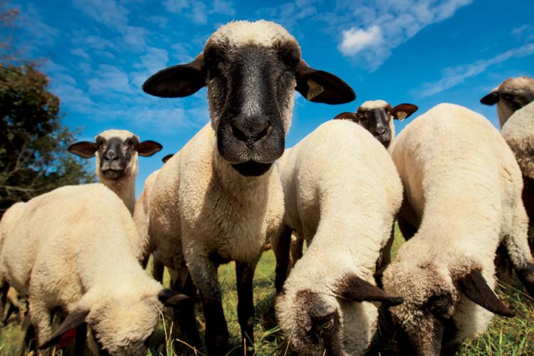 tn sheep farm