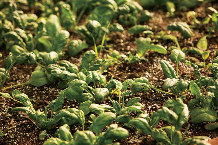 Spinach spring gardening