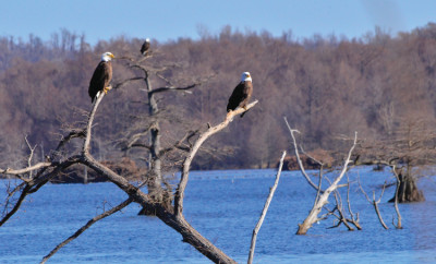 Bald eagles in TN